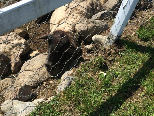 大笹牧場オートキャンプ場羊