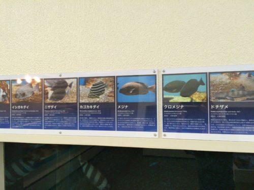千葉大学海洋バイオシステム研究センター水族館魚
