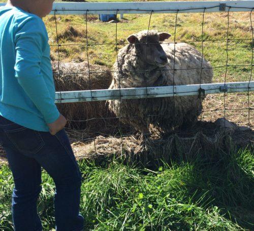 みどりの村キャンプ場たかやま高原牧場の羊