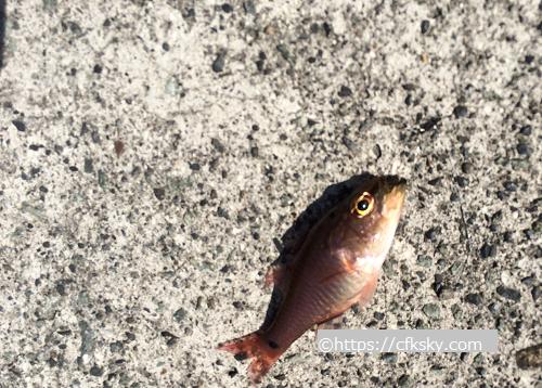 はじめてのアジングで釣れた魚