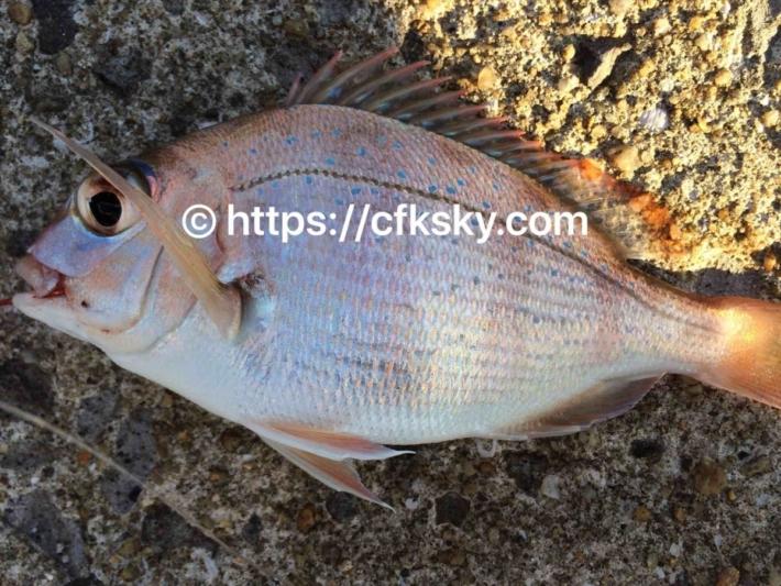 ワームを使って加部島で釣れた魚