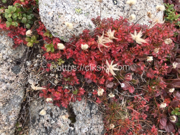 木曽駒ケ岳にある高山植物