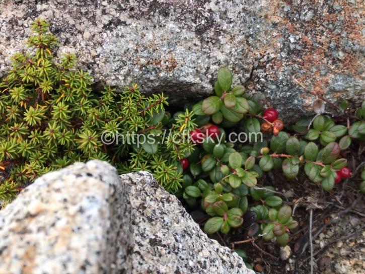 木曽駒ケ岳にある高山植物たち