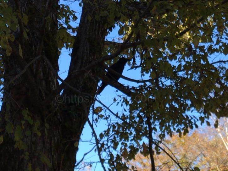 逃げたカラスが近くの木の枝にとまってこちらの様子をうかがっている