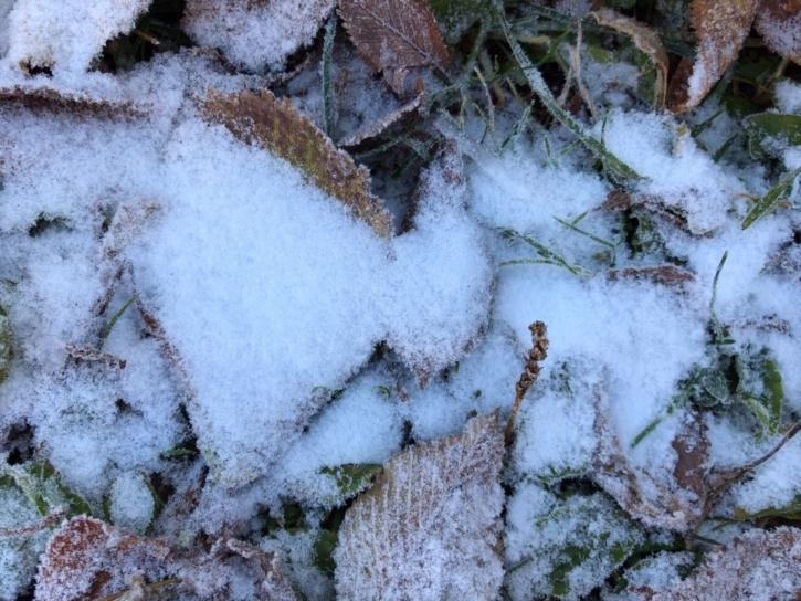 氷点下の朝の葉っぱ